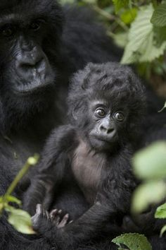 baby gorilla with its mom