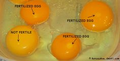 how to tell if your eggs are fertilized