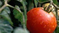 Leckere Tomaten aus eigener Ernte: Doch Vorsicht bei Regen. (Quelle: imago/Niehoff)