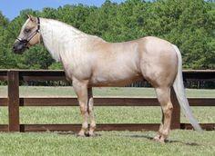 Quarter Horse - stallion Sparky Starlight