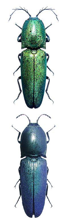 Chalcolepidius smaragdinus