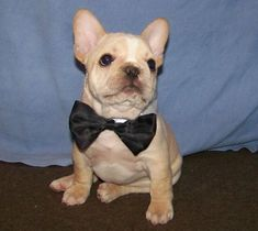French Bulldog Puppies - Past Pups Page