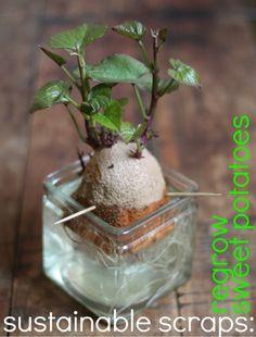the rikrak studio: sustainable scraps: vegetable gardening with *17 Apart* { SWEET POTATOES }