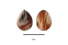 http://www.ars-grin.gov/npgs/images/sbml/Ceiba_aesculifolia_subsp_aesculifolia_seeds.jpg
