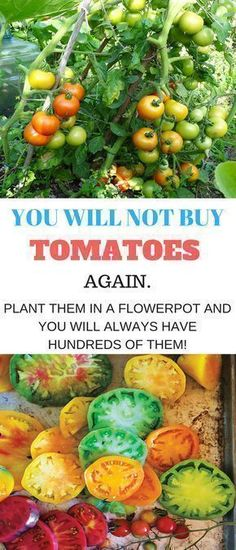 Growing tomatoes in pots is one way to enjoy fresh tomatoes, even if you've never gardened before! Fresh tomatoes are becoming more expensive in stores, at farmer's markets, and vegetable stands. B… #growingtomatoesinpots #growingvegetablesinpots #growingtomatoesingarden #gardeningtomatos #tomatosgardening