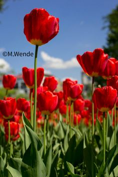 Instant Download Photography, Red Tulips, High Resolution. Digital file. 2 FILES !
