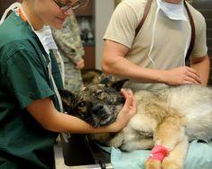 Blutspenden für Tiere: Wenn Vierbeiner Leben retten #tiere #dog #tierliebe #animals #pets