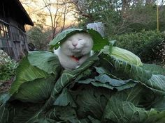 CAT IN THE CABBAGE