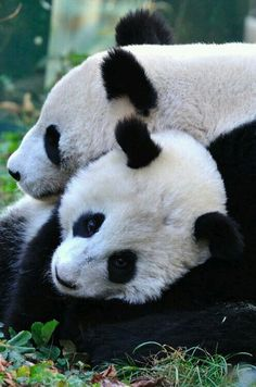 The giant panda is the rarest member of the bear family and among the world's most threatened animals. Learn about WWF's giant panda conservation efforts. Niedlicher Panda, Cute Panda, Panda Bears, Red Panda, Pandas Baby, Giant Pandas, Beautiful Creatures, Animals Beautiful, Panda Lindo