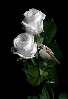 Beautiful Rose Flowers, Love Rose, Flowers Nature, Beautiful Birds, Fruits Photos, Black Phone Wallpaper, Flower Quotes, Shades Of White, Blossom Flower
