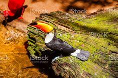 Toco Toucan in a Brazilian rainforest. Brazilian Rainforest, Toco Toucan, Bald Eagle, Vivid Colors, My Photos, Royalty Free Stock Photos, Prints, Animals, Image