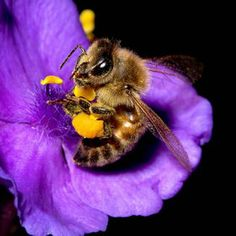 Bee in the Spiderwort by Kenton Miller on Cool Insects, Bugs And Insects, Beautiful Creatures, Animals Beautiful, Cute Animals, Buzzy Bee, I Love Bees, Bees And Wasps, Bee Friendly