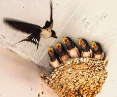 Barn Swallow feeding her babies. Pretty Birds, Beautiful Birds, Animals Beautiful, All Birds, Little Birds, Cute Baby Animals, Animals And Pets, Barn Swallow, Swallow Bird