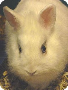 Zanesville, OH - Dwarf Mix. Meet 39689 Blue $20, a pet for adoption. http://www.adoptapet.com/pet/11866168-zanesville-ohio-rabbit