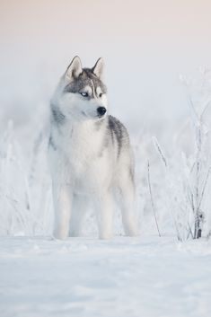 Siberian husky winter Siberian husky winter Source by yoman_gita The post Siberian husky winter appeared first on Buckley Pets. Cute Husky Puppies, Husky Puppy, Pomeranian Puppy, Cute Dogs Breeds, Dog Breeds, Siberian Husky Dog, Yorkshire Terrier Puppies, Beautiful Dogs, Dog Cat