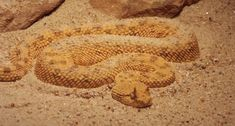 """The Saharan horned viper can be found in Northern Africa and certain parts of the Middle East. These venomous serpents prefer dry, sandy areas with subtle rock outcroppings, and also oases. These vipers have been documented at altitudes of up to 4,900 feet. They are typically identified by their pair of supraocular """"horns"""", although there have been hornless specimens found too. #ambush #bite #desert #envenomation #fangs #hornedviper #Sahanan #Sahara #Saharanhornedviper #sand #snake #veno"""