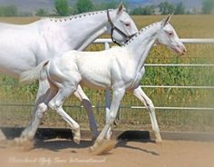 Beautiful white mare and foal with braided mane. Such pretty horses! Baby Horses, Cute Horses, Horse Love, Draft Horses, Wild Horses, All The Pretty Horses, Beautiful Horses, Animals Beautiful, Simply Beautiful