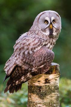 Great grey owl (Strix nebulosa) (by Steve Liptrot Photography) Owl Bird, Pet Birds, Owl Who, Common Kingfisher, Strix Nebulosa, Barred Owl, Great Grey Owl, Owl Pictures, Gray Owl