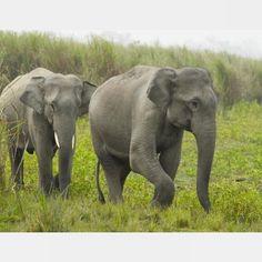 Traveling Asian elephants