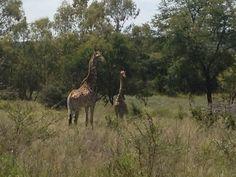 Giraffes in SA (January '13)