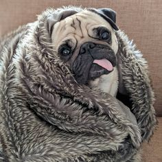 22 trendy Ideas for funny dogs mems pug life Funny Animals With Captions, Funny Pictures With Captions, Funny Animal Pictures, Funny Baby Faces, Funny Babies, Dog Mems, Funny Supernatural Memes, Pugs And Kisses, Funny Illustration