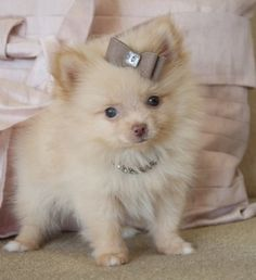 this will be my next dog a teacup pomeranian...I saw one today at the vet and fell in love!!