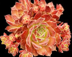 Sempervivum 'Frothy Coffee' ✯ ♥ ✯ ♥ image credit: http://www.surrealsucculents.co.uk/product_info.php?products_id=58 ✯ ♥ ✯ ♥ click the pin to watch the 5 minute video at http://snow.energygoldrush.com ✯ ♥ ✯ ♥