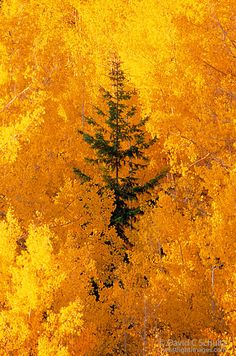 Manipura (Aspen trees in the fall in the Dixie National Forest, Utah)