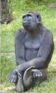 Female Gorilla: Animal lovers will enjoy animal jewelry at http://www.silveranimals.com/index.htm