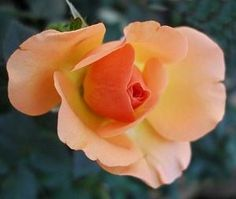 How To Grow Roses For An Abundance Of Flowers: the top five mistakes most people make {gardening-advice.net} by lila