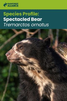 The spectacled bear is Latin America's only species of bear. They prefer densely forested areas from Panama to Argentina, as they are very timid and avoid humans. The spectacled bear's favorite foods are fruits and bromeliads, and they can spend days up in trees collecting fruit. Click to learn more about these shy bears! Black Bear, Brown Bear, Spectacled Bear, Zoology, Wild Things, Endangered Species, Livestock, Panama, Habitats