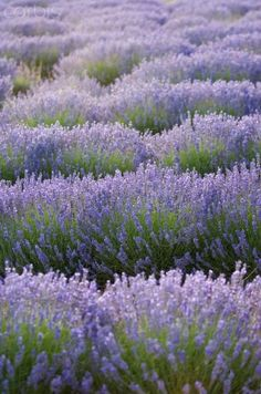 Lavender is calming. I can smell it just thinking about it. #mindbody