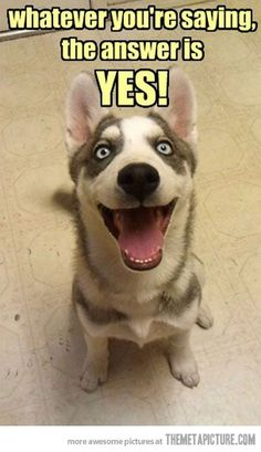 I can hear the happy in your voice - Funny pictures and memes of dogs doing and implying things. If you thought you couldn't possible love dogs anymore, this might prove you wrong. Funny Dog Captions, Funny Animal Pictures, Funny Animals, Cute Animals, Funny Memes, Funny Quotes, Happy Animals, Cute Puppies, Cute Dogs