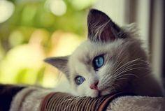 Looks so sad......................blue,cat,cute,sad - Pixdaus