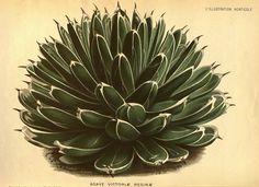 Agave victoriae-reginae, T. Moore, L'Illustration horticole, vol. 28: t. 413 (1871)