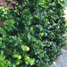 Carissa macrocarpa 'Desert Star' for front garden Potted Plants, Garden Plants, African Plants, Smell Of Rain, Desert Plants, Flower Beds, Bird Feeders, Beautiful Gardens, Wind Chimes