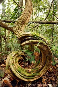 Twisted tree.
