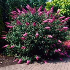 Pink Delight Butterfly Bush - Buddleia for Sale - Brighter Blooms Nursery