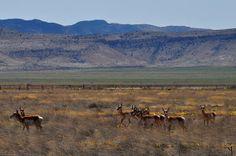 Antelope Roam in Cochise County Arizona.  Diane Greene Lent