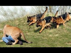 Best Trained & Disciplined German Shepherd Dogs - YouTube