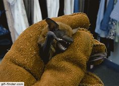 Angry captured bat
