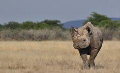 Rinoceronte-negro (Diceros bicornis)