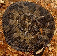 Okinawa pit #viper Ovophis okinavensis #snake #reptile #venomous #Japan