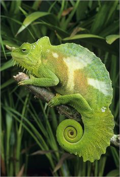 four-horned chameleon | david aubrey