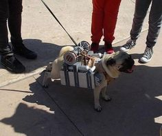 This Pug is Part of the Adorable Corps