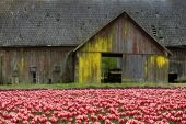 tulips in the skagit valley