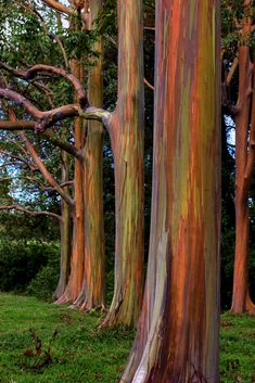 Australian Natives Rainbow Eucalyptus growing in Hawaii. Road to Hana, Maui. They are stunning and added to our adventure there! Maui Travel, Hawaii Vacation, Maui Hawaii, Oahu, Hawaii Trips, Vacation Travel, Travel Destinations, Trees And Shrubs, Trees To Plant