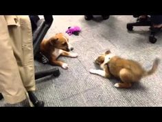 Petplan furry team members Fiona and Dillon show off their playtime skills at the Petplan pet insurance office. Do you have a cute pet video to share? Submit it to our Wag the Vote video contest for a chance to win 5K for you and 5K for your favorite animal charity! http://www.wagthevote.com/