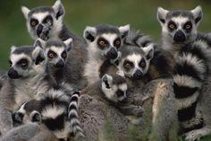 ring-tailed-lemur-lemur-catta-group-gerry-ellis