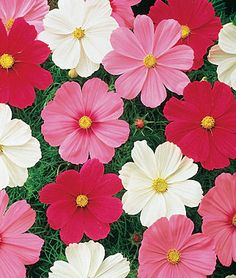 Cosmos - Candy Land by Live Mulch #cosmos #groundcover